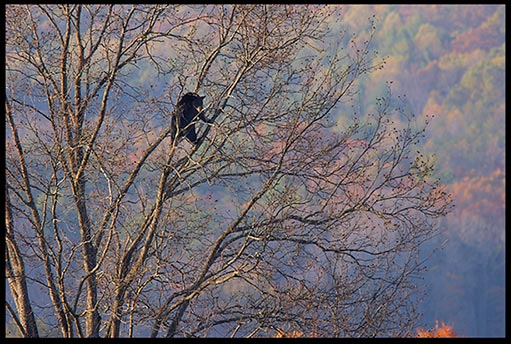 Fall colors provide the backdrop for a black bear in a high walnut tree in Cades Cove, Great Smoky Mountains National Park, Tennessee.