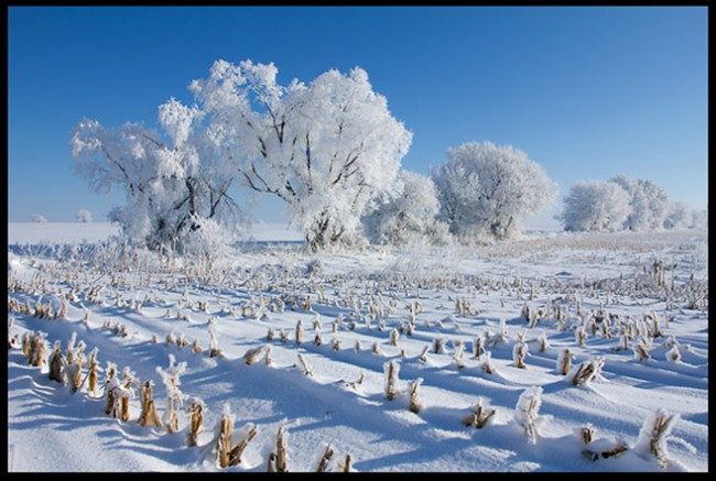 A snow and hoarfrost covered Nebraska farm field and trees beneath a clear blue sky