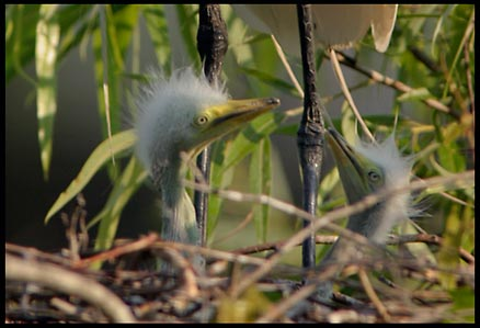 The one-footed egrets chicks beneath him.