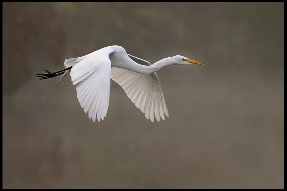 A white great egret in flight over wetlands through fog at Gatorland in Central Florida, and Ephesians 2:8-10 by grace alone