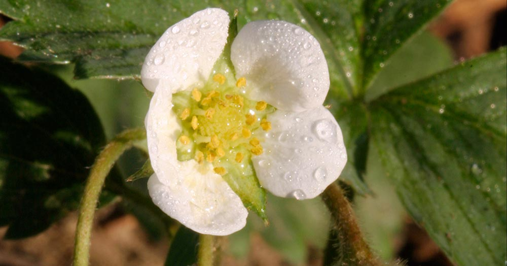 Verse of the Day and nature photo of a white and yellow strawberry blossoms, Eastern Nebraska and James 3:17-18.