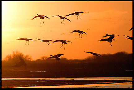 A silhouette of sandhill cranes using their wings as parachutes when landing in the Platte River and it's sandbars