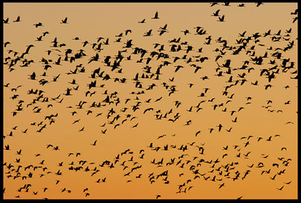Hundreds of silhouetted sandhill cranes against a red orange sky above the Platte River