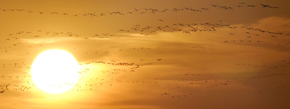 Hundreds of sandhill cranes silhouettes and the setting sun in Central Nebraska.