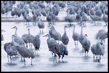 Dozens of sandhill cranes standing in the shallows of the Platte River in Nebraska
