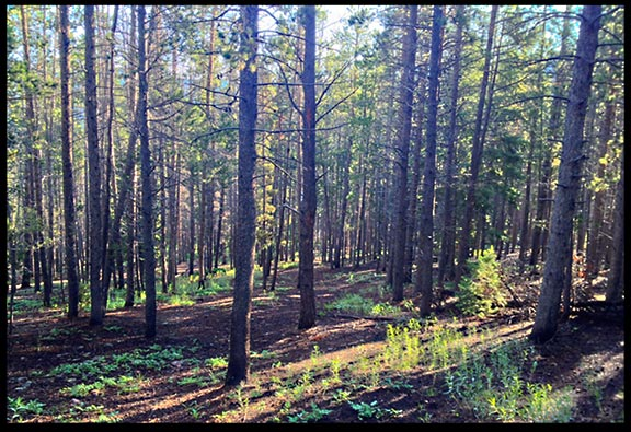 Morning sunshine through the trees in the Roosevelt National Forests in Colorado.