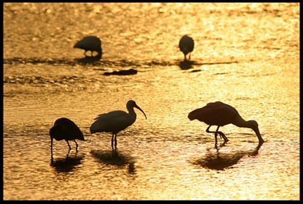 Five silhouetted wadding birds forage for food at sunrise in Ding Darling National Wildlife Refuge, Florida.