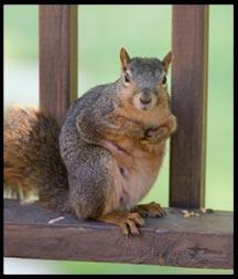 A squirrel on a deck railing