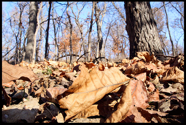 A pile of dead and tried fall oak and other leaves on floor of Fontenelle Forest, Nebraska