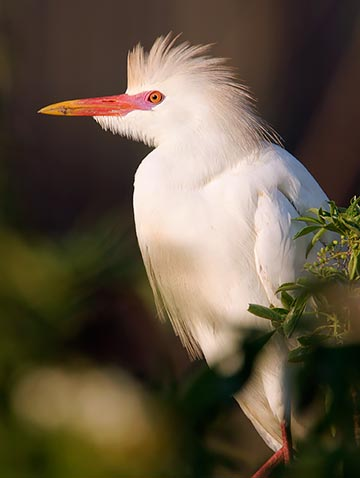 a cattle egret displays its breeding season colors including it's yellow, orange and pink beak