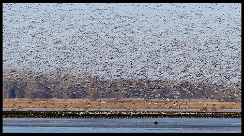 A large flock of snow geese fly above a bald eagle at Squaw Creek (Loess Bluffs) National Wildlife Refuge.