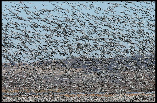 A massive swarm of snow geese and other birds fill the sky in fear at Squaw Creek (Loess Bluffs) National Wildlife Refuge.