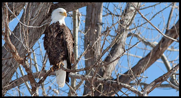 A Bald eagle perched in a tree at Squaw Creek (Loess Bluffs) National Wildlife Refuge.