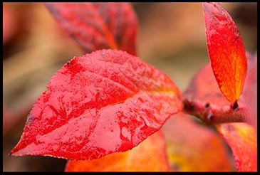 Rainwater glistens on red fall blueberry leaves.