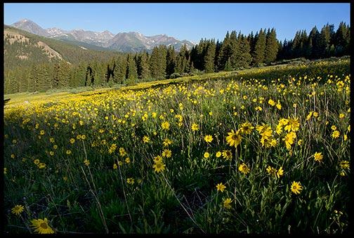 Yellow flowers in a mountain meadow near Breckenridge, Colorado.