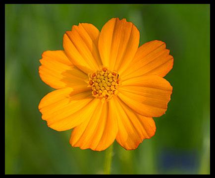 True-Beauty-Flower