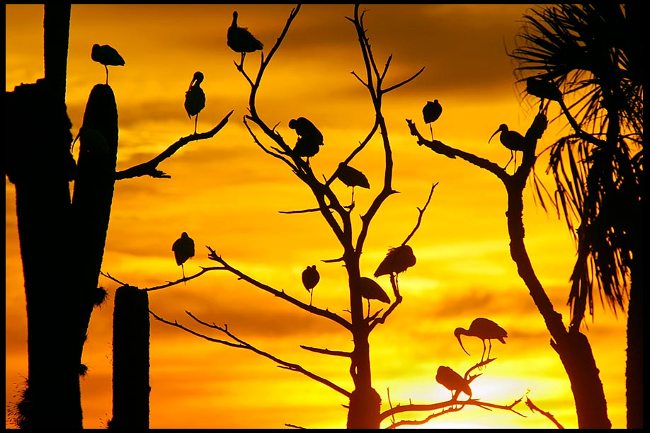Ibis silhouetted in trees at Sunset, Orlando Wetlands Park, Central Florida and Habakkuk 3:3b.