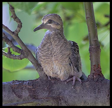 Mourning dove chick on a tree branch