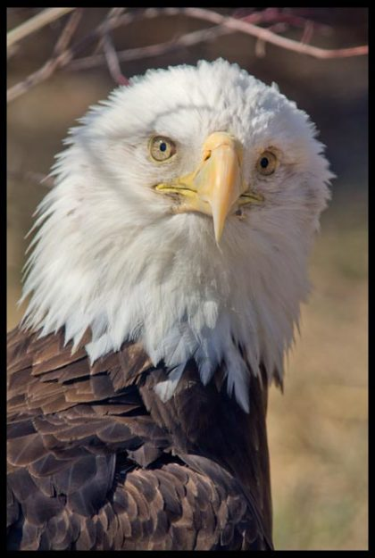 Bald Eagle, Eastern Nebraska and Psalm 103:1, 5-6 Bible verse about having your strength renewed like the eagle