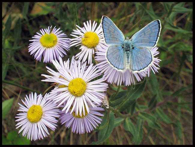 Common blue butterfly on purple asters Mountain National Park, Colorado and John 10:10. Have abundant life in Christ