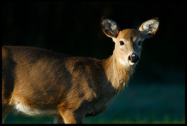 A whitetail deer doe