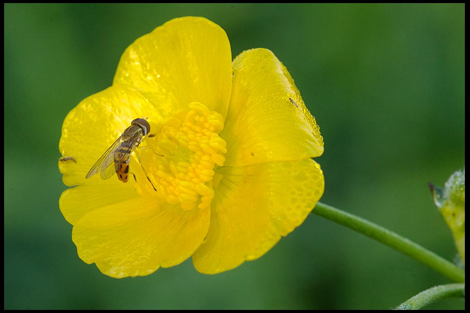 A hover fly pollenates a yellow buttercup flower, Western New York State and I John 5:12. Bible Verse and nature photo of the Day: find life in Christ