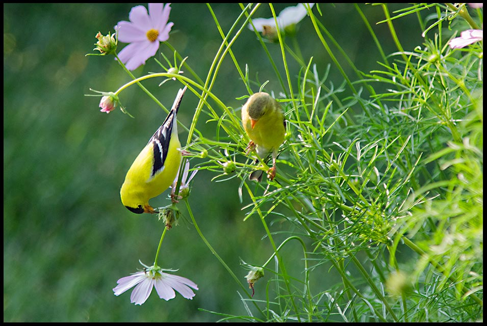 A yellow male Goldfinch with his female mate in Cosmos Flowers, Sarpy County, Nebraska and Matthew 19:4-6. He made them male and female