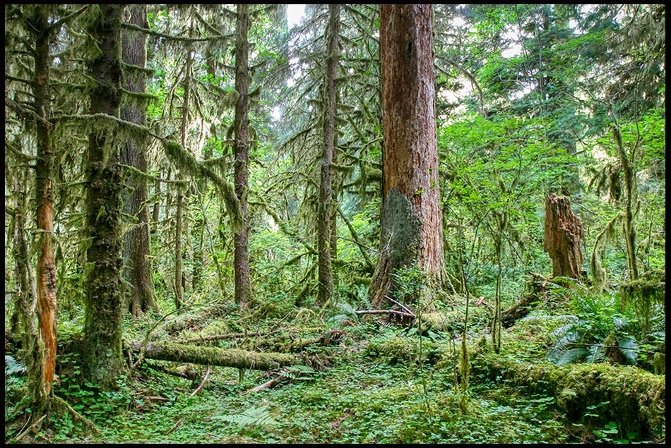 The thick and rich green trees of the Hoh Rain Forest, Olympic National Park, Washington State and Romans 11:33 for the Bible Verse of the Day, Wisdom of God