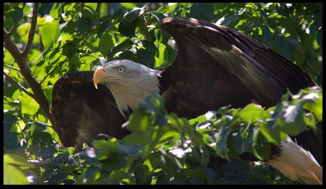 "Bald eagle flex it's wings in a tree, eastern, Nebraska and Deuteronomy 32:11-12. ""Like an eagle stirs Bible verse"