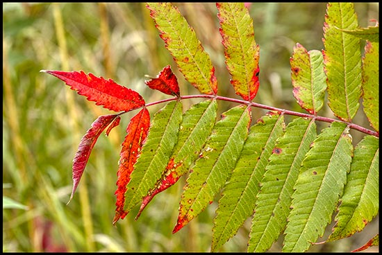 The leaves on a sumac leaves begin to red in Lake Anita State Park, Iowa. red autumn colors