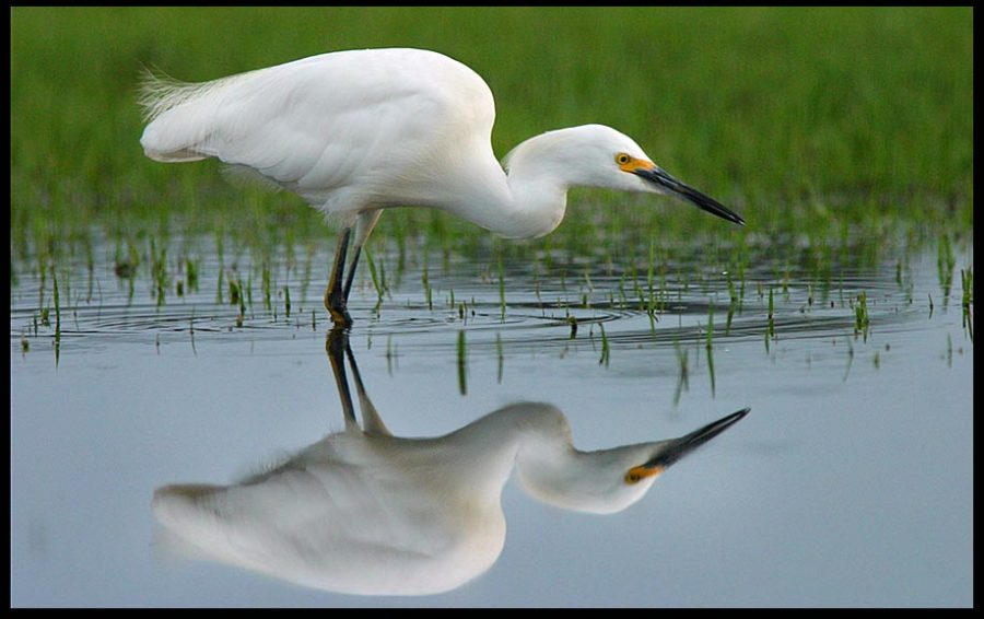 A snowy egret stalks insects in large puddle, Central Florida and Proverbs 27:19. Reflect him in your life