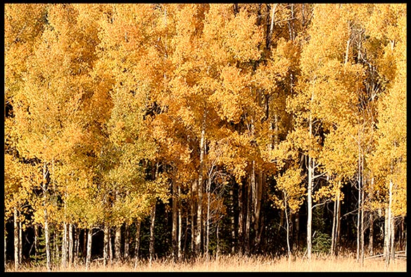 A group of golden yellow fall aspen trees in Rocky Mountain National Park