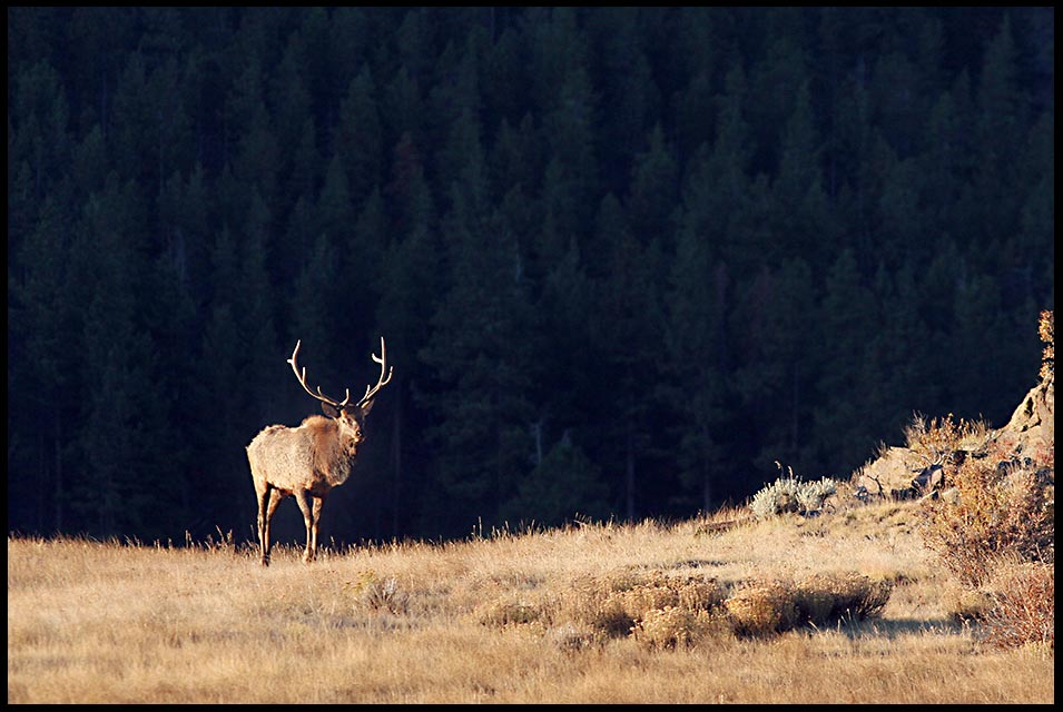 A bulk elk with a full rack walks across Moraine Park at Sunrise in Rocky Mountain National Park, Colorado and 1 John 1:7-9 bible verse about god's light