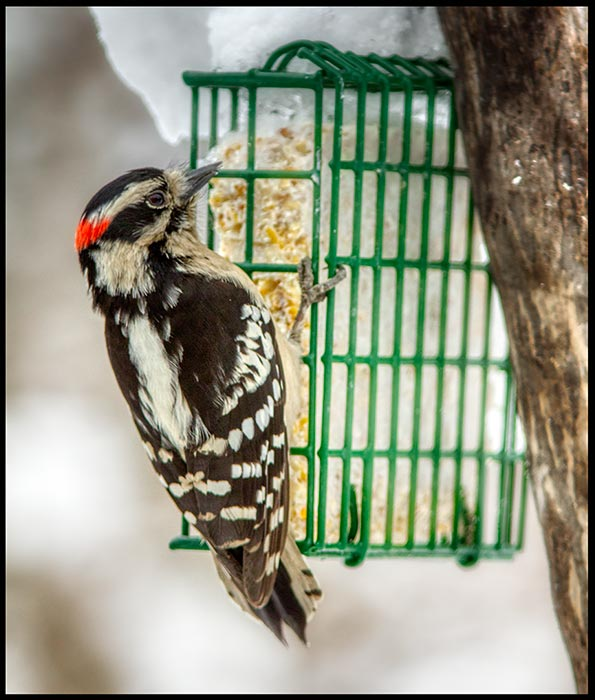 "The lord provides for this downy woodpecker on suet, Bellevue, Nebraska and Psalm 50:11 Bible verse. ""I know every bird"""