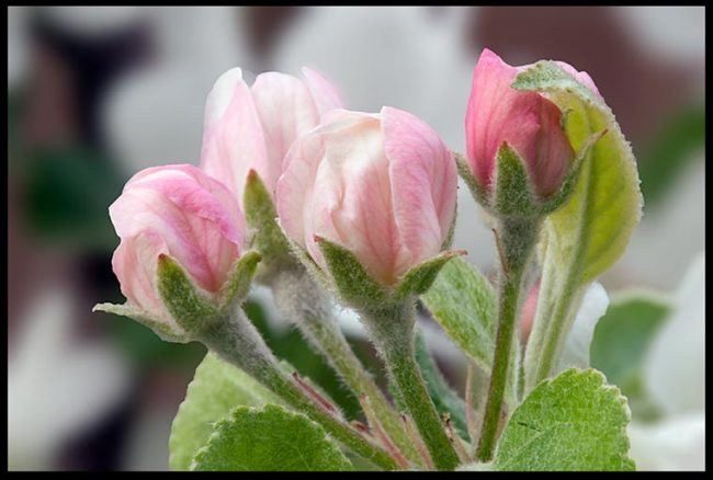 Pink and white apple blossom buds, Eastern Nebraska and Ecclesiastes 8:17. Bible verse to Discover the work of God