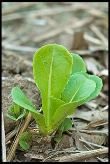 A tiny head of romaine lettuce emerges from the ground.
