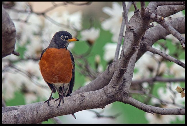A robin perched on a branch in a blossoming magnolia tree, Bellevue, Nebraska and Psalm 105:1-2 Scripture verse and Speak of His Wonders