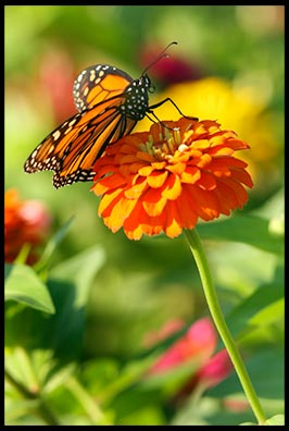 Monarch butterfly on a orange zinnia flower. Little tings in nature reveal God's greatness.