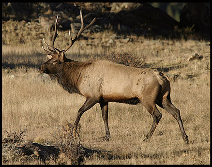 Bull elk in brown grass in Rocky Mountain National Park Colorado. Do wild animals have souls?