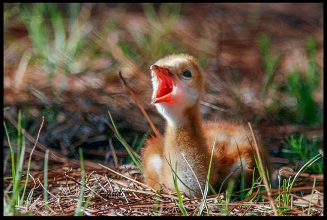 Sandhill crane chick chirps while lying down, Moss Park, Central Florida Bible verse Psalm 40:3-4a Sing your Song