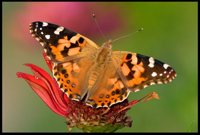 Painted lady butter fly on a fading red zinnia and Bible verse Ephesians 4:22a-24 be renewed