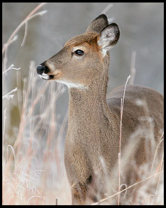 White-tailed doe standing in high, brown winter grass, Lake Manawa State Park, Iowa and Job 5:8-9 Bible verse wonders of God