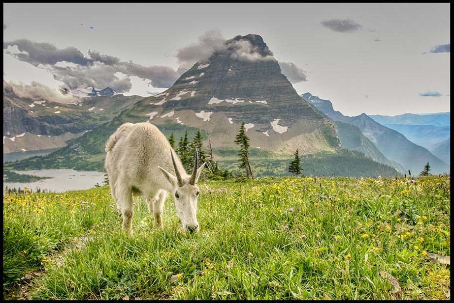 Mountain Goat in a flower filed meadow at the Hidden Lake Overlook, Glacier National Park, Montana and Psalm 145:21 bible verse and let every creature