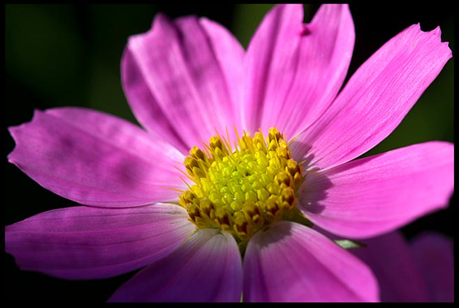 A purple pink cosmos bipinnatus flower shines in the morning sunlight and modesty Bible verse 1 Peter 3:3-4