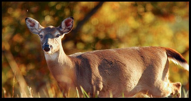 A white-tailed deer doe walks in the morning's glory light, Great Smoky Mountains National Park, Tennessee.