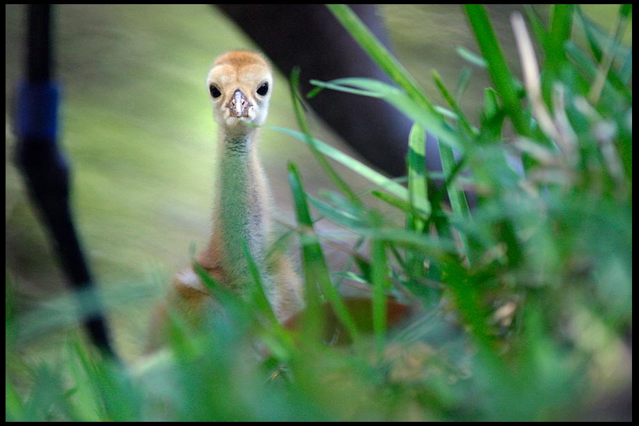 A wide eyed sandhill Crane Chick and parent, Moss Park, Florida and Psalm 119:18. bible verse about wonderful things