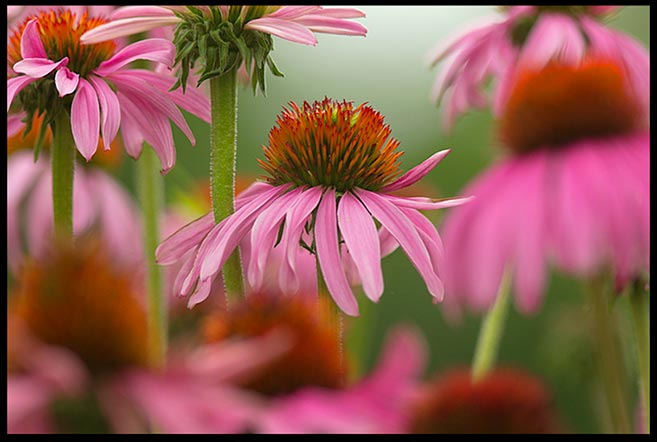 Bright pink-purple cone flowers, Bellevue, Nebraska and Philippians 4:4-5. Bible Verse of the Day: Rejoice in the Lord always