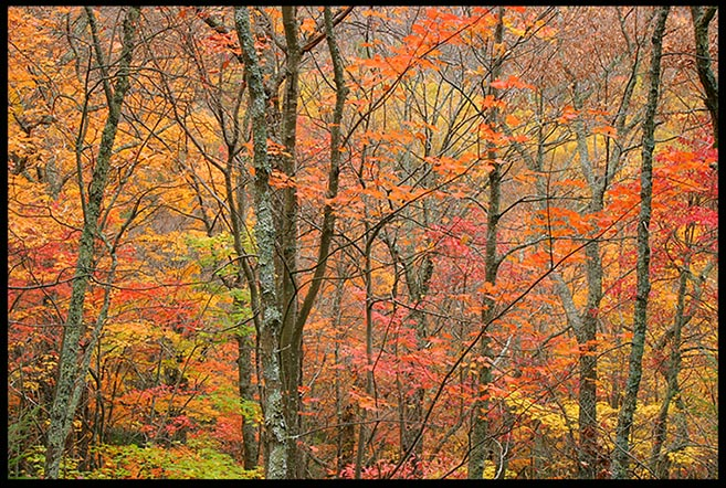 Trees displaying red, yellow, purple and orange fall colors along the Rainbow Falls Trail, Great Smoky Mountains National Park, Tennessee. and Bible verse Psalm 81:1-2 rise a song