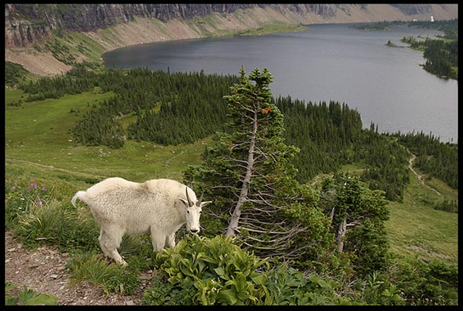 Mountain goat billy above Hidden Lake, Glacier National Park, Montana and Habakkuk 3:19. like hinds feet Bible verse