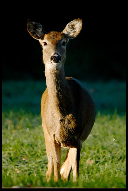 """Whitetail Deer Doe in stark morning light, Lake Manawa State Park, Iowa and Psalm 42:1-2. """"As the deer pants for the water"""" bible verse"""